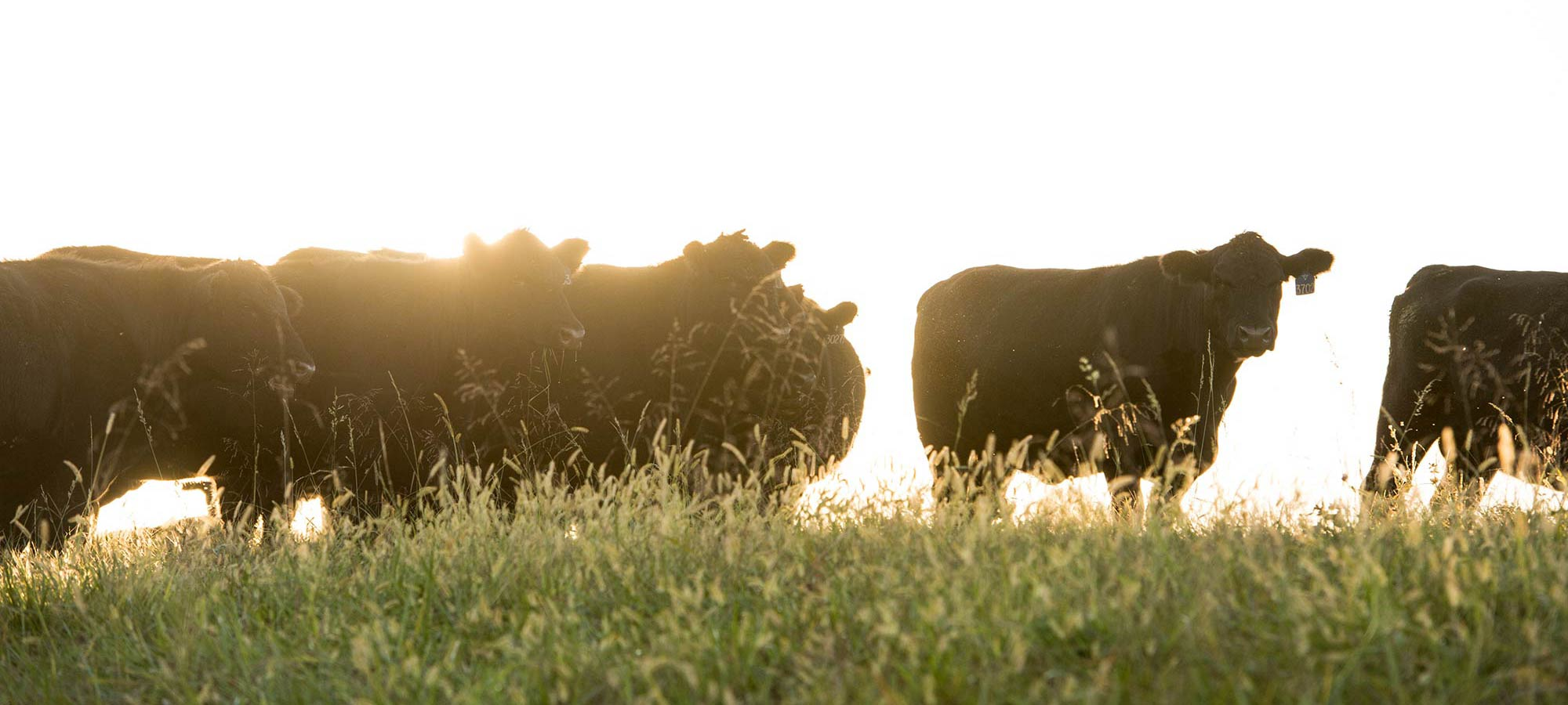 Branch View Angus Cattle Sunset