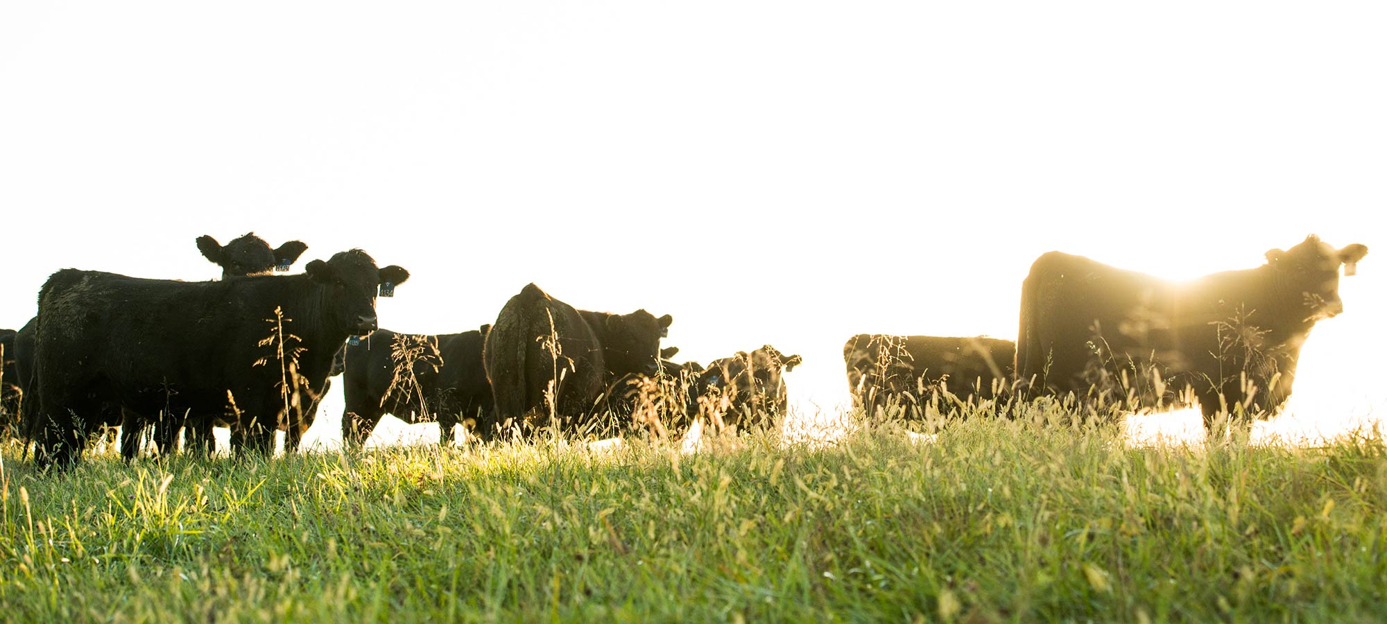Branch View Angus Cattle
